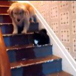 ネコが怖くて階段を降りられない大型犬がカワイイ