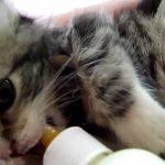 【萌え】 とってもお腹が空いている二匹の子猫がゴクゴクとミルクを飲む