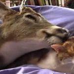 猫ちゃんの事が大好きすぎてペロペロなめる鹿さん