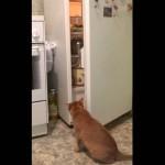 [猫ビーム] 冷蔵庫をのぞくネコ、人の気配に気付いて振り返ると・・・