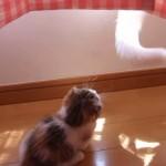 しっぽと遊ぶマンチカンの子猫が反則級にカワイイ