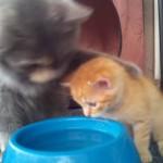 母猫が仔猫に水の飲み方を優しく教える