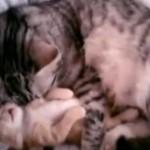 寝ぼけた子ネコを抱きしめる母猫