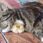 仲良しなネコとひよこ