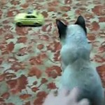 [8秒動画] おもちゃに集中しているネコを、後ろからさわると・・・・