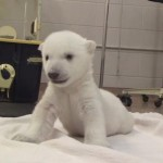 [癒し] 生まれたてシロクマの赤ちゃんがカワイイ