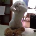 産まれたばかりの子猫の扱いがわからずに、踊りだしてしまう猫