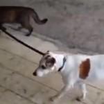 [お散歩] 猫が犬のリードを引っぱって一緒に帰宅する