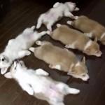 [動画] 熟睡する6匹のコーギー