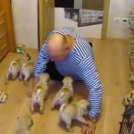 ご主人がやってきて、寝転ぶと6頭のパグが一斉に・・・