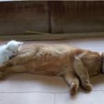 保護されたばかりの子猫、大好きな先輩猫にくっついて寝る