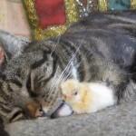 ぴったりくっついて寝そうなネコとヒヨコ