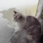 散歩がしたくて一生懸命雪かきをするネコ