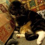 おなかでひよこさんが寝ていて、身動きがとれなくて困る猫ちゃん