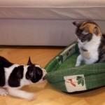 ネコにベッドをとられた子犬が、ベッドをくわえて引っぱるが・・
