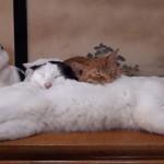 [極楽] もふもふの猫枕で幸せそうに寝るネコたち