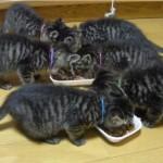 6匹の子ネコにご飯をあげたら、「ウマイウマイ」の大合唱が始まった
