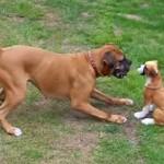 ボクサー犬が威嚇している相手は、ワンちゃんではなく・・ぬいぐるみ