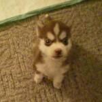 生後8週間だけど、ちゃんと言う事を聞く賢いハスキー犬