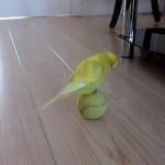 テニスボールに乗ってバランスをとるセキセイインコ