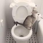 [猫砂いらず?] トイレで用を足して、さらに水を流すネコちゃん