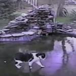 池の上から魚を捕らえようとしてツルツルすべるネコ