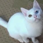 美しいオッドアイの白猫(ユキちゃん)