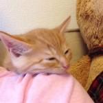 [zzz] ご主人の肩で寝る子ネコ
