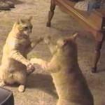 せっせっせ~のヨイヨイヨイをして遊ぶネコ達