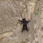 垂直の岩山をのぼる親子クマ