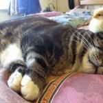 ひよこを頭の上に乗せて寝る、心優しいネコさん