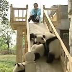 滑り台で遊ぶ子パンダ達