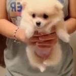 [動画14秒] 手足をゆっくりパタパタする子犬のポメラニアンにキュン・・・
