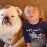 [仲良し] 子供とブルドックが同時に寝落ち