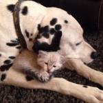 ダルメシアンのふところで寝る子ネコちゃんが愛おしい