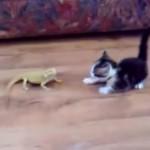 [24秒] びびりながら、トカゲと戦う子ネコ