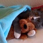 ぬいぐるみを抱きしめたまま寝る子猫♪