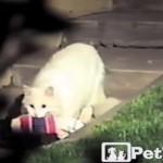 隣の家から洗濯物を盗み出すネコ