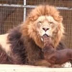 ライオンがワンコに顔をなめられてウットリ・・・