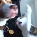 [スロー再生] ちょっと遊ぼうとちょっかいを出したら、サンドバックのように猫パンチを浴びるワンコ