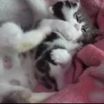 仔猫をギュッっと抱きしめすぎて、怒られる母ネコ