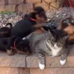 たくさんの子犬になつかれるネコが迷惑そう