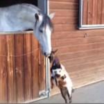 お馬さんに近づく子ヤギちゃんの頑張り♪