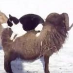 [動画] さむいので羊タクシーに乗る猫