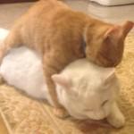兄ネコが大好きすぎて抱きつくネコ