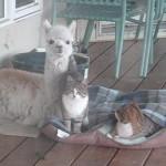 猫二匹と仲良しのアルパカさん