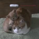 遊んでほしい子猫がしつこくおねだり♪