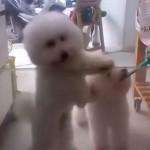 音楽に合わせて右へ左へ交互に踊るモフモフの子犬♡