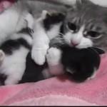 2匹の仔猫を同時に「ギュ~~」っと抱きしめる母猫