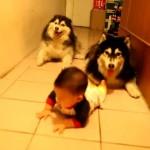 ハイハイの後ろから、真似してハイハイしているお茶目なハスキー犬
